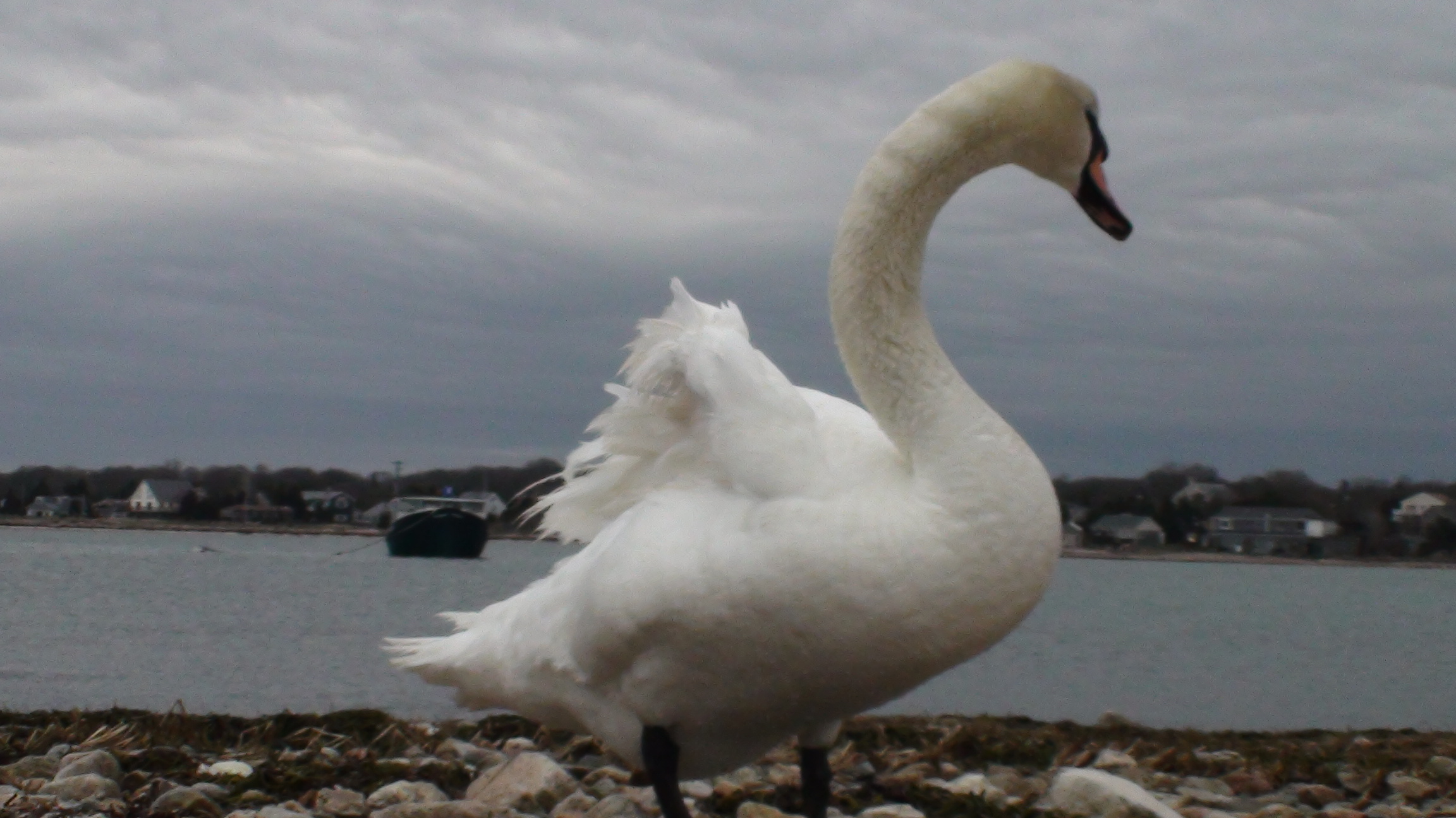 A Swan at Hoppy's Landing